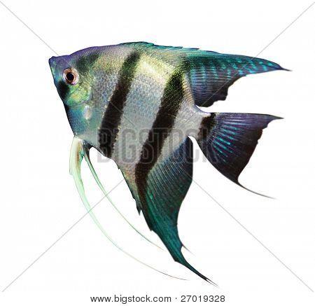 Fischen Sie auf weißem Hintergrund