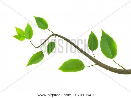 Rama verde