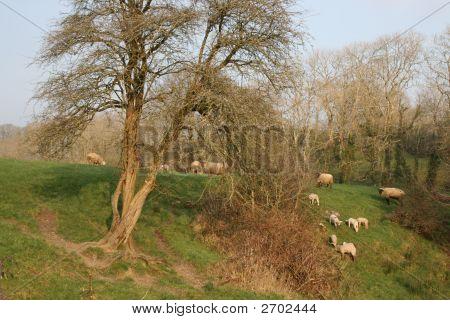 Irish Farm In Spring