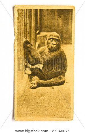 UNITED STATES OF AMERICA - CIRCA 1970: A Postcard printed in the United States shows image Gorilla, circa 1970