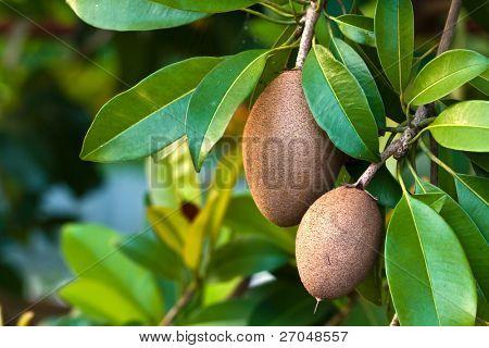Sapodilla, tropical fruit.