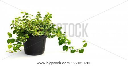 Little plant in a black  pot. Isolated on white background. Space for text.
