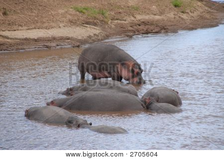 Hippos sunbathing eating and relaxing
