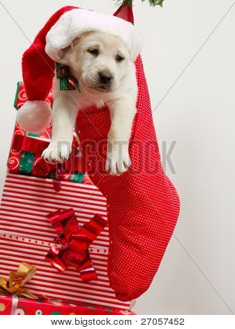 Christmas present - Cute labrador puppy in a Christmas sock