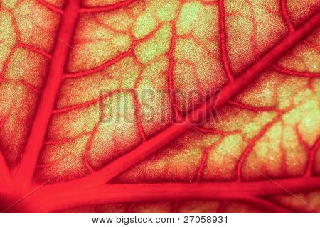 closeup of a vapourus and blood-red geranium leaf throught the sunlight