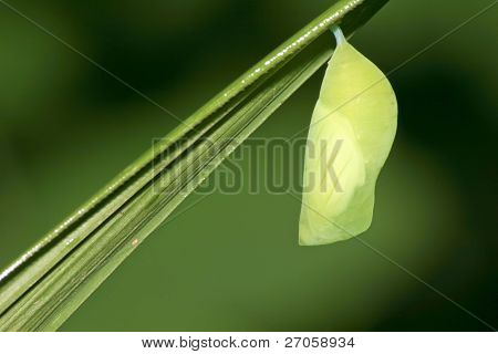 A deep green butterfly pupa hanging on a blade of grass.
