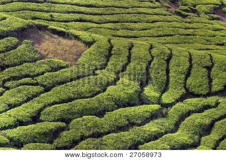 famous landscape of the tea plantations, Cameron Highlands, Malaysia.