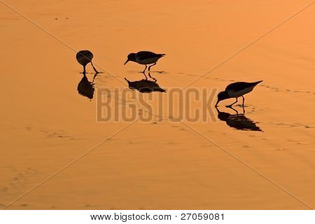 three little wading bird eating on wet golden sand at dusk on a beach