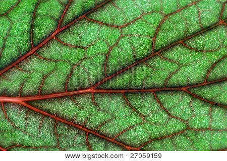 blood geranium leaf veins macro