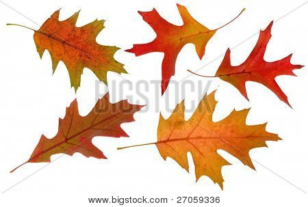 five high resolution oak autumn leaves isolated on white