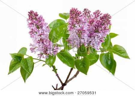 fresh spring lilac blossom with dewdrop isolated on white