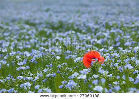 single red poppy in blue flax field at spring, shallow depth of field