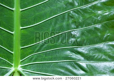 close up of tropical elephant ear leaf, wild taro colocasia esculenta