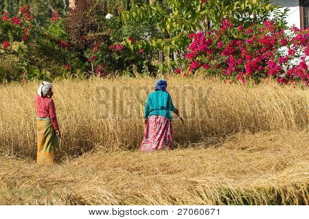 nepalese peasant harvesting in field