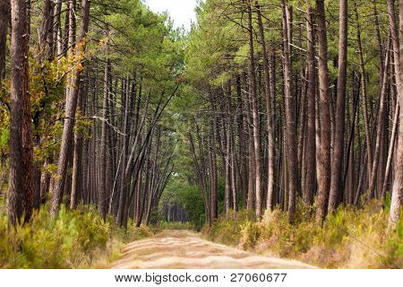 traditional pine tree forest in Gironde, Medoc, France