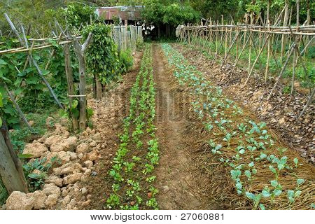 organic vegetable garden in chiang rai, north thailand