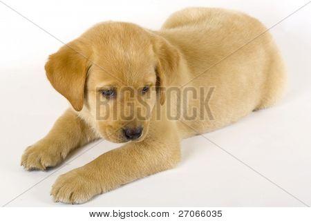 sleepy Puppy Labrador retriever on white background