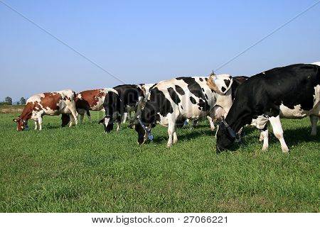herd ow cows grazing on field