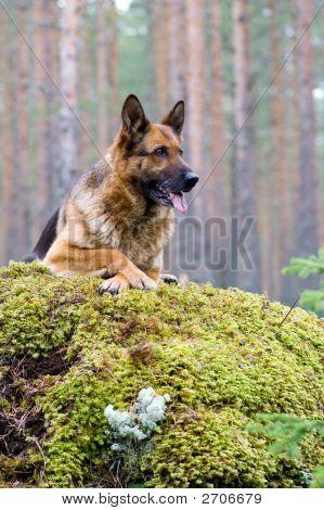 Germany Sheep-Dog Laying On The Stone
