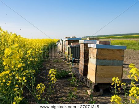 Beekeeping with oilseed rapeseed in the background