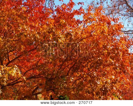 Fiery Leaves