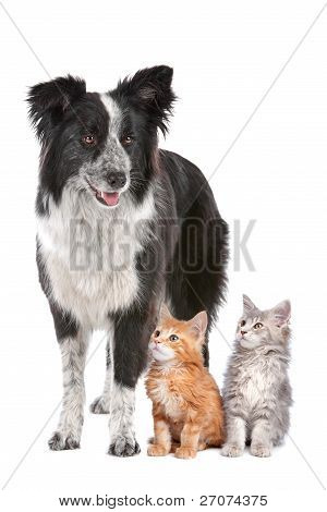 Border Collie And Two Kittens