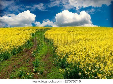 oilseed rapeseed, field