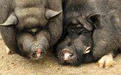 image of pot bellied pig  - Vietnamese potbellied pigs pair sow and hog - JPG