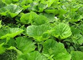 stock photo of butterbur  - Petasites plant with large leaves Butterbur - JPG
