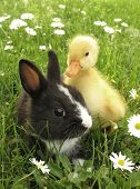 stock photo of cony  - Rabbit bunny and duckling best friends - JPG