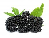picture of elderberry  - Elderberry Sambucus nigra - JPG