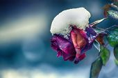 Beautiful Rose Covered With Snow. Snow Lies On A Frozen Rose. A Big Red Rose Covered With Snow. poster
