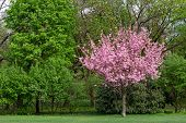 A Single Tree With Pink Flowers Contrasts With A Grove Of Green Trees poster