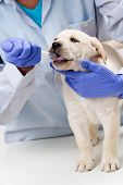 Veterinary  is giving the medicine to the puppy of the labrador