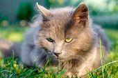 Fluffy Grey Grumpy Cat Lie On Green Grass poster
