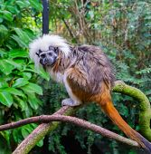 Tamarin Monkey A Rare And Critically Endangered Tropical Species From Colombia poster
