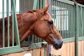 Portrait Closeup Of Beautiful Young Chestnut Horse In Stall Box. Purebred Horse With Beautiful Eyes  poster