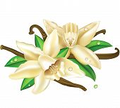 stock photo of vanilla  - Vector illustration yellow flowers of vanilla with leaves - JPG