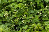 Flowers Of Green Bean On A Bush. French Beans Growing On The Field. Plants Of Flowering String Beans poster