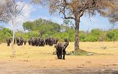 Large Herd Of Elephants Walking Out From The Bush Walking Towards Camera, With Vibrant Green Tree An poster
