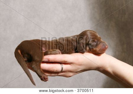 Cute Dachshund Puppy On The Hand
