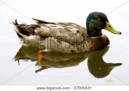 White Lake Brown Duck