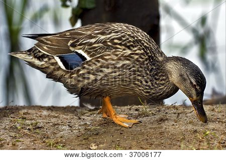 A Duck Eating In The Earth