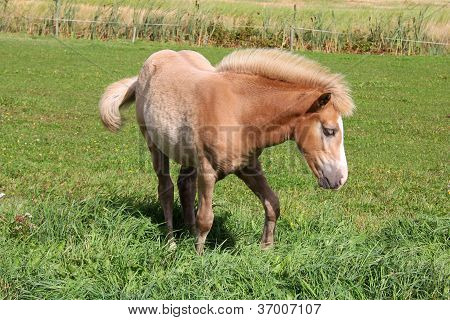 Young Palomino Filly