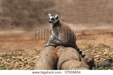 Photo Of Cute Common Brown Lemur (eulemur Fulvus), Or Brown Lemur Sitting On A Wooden Log In The Wil