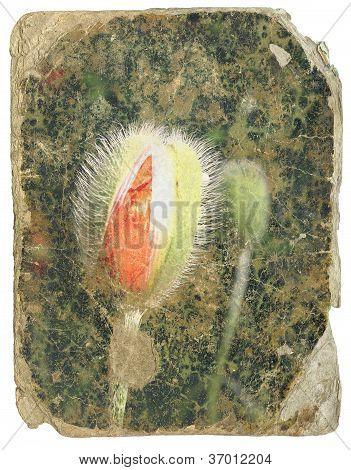 Retro Design  -poppy Bud. Old Postcard Isolated