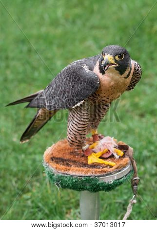 Peregrine Falcon (Falco peregrinus) On Perch