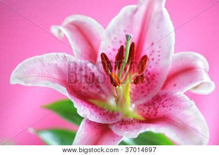 Stargazer lily isolated on pink background