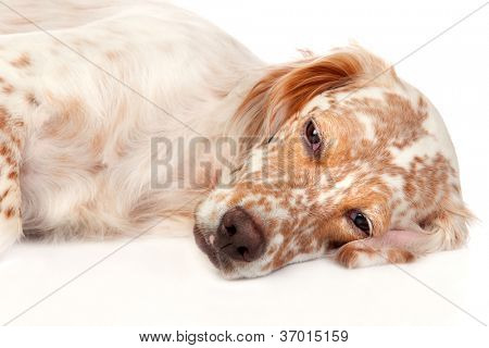 Beautiful English Setter with brown spots isolated on white background