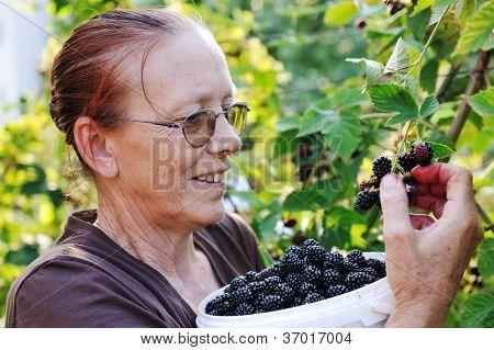 Blackberry picking by senior female worker